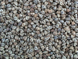 Tartary Buckwheat White